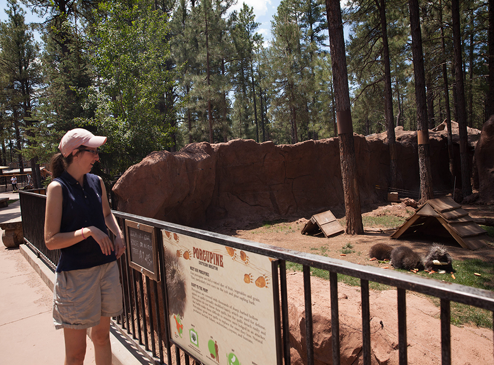 A woman looks at porcupines at Bearizona.